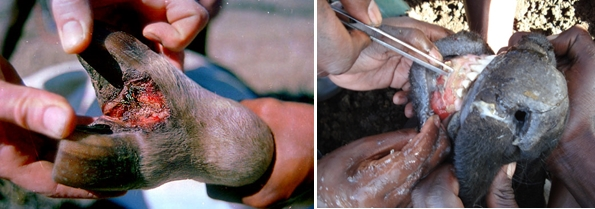 Figure 2: Look for abnormal lesions between the toes or on the teats, which might indicate Foot and Mouth