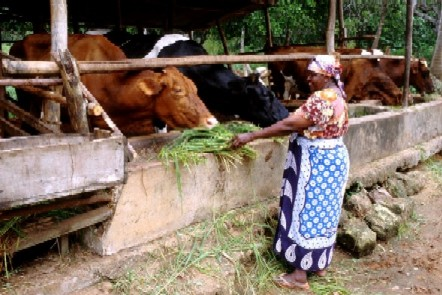 Policy research enhances dairy opportunities in Kenyan highlands